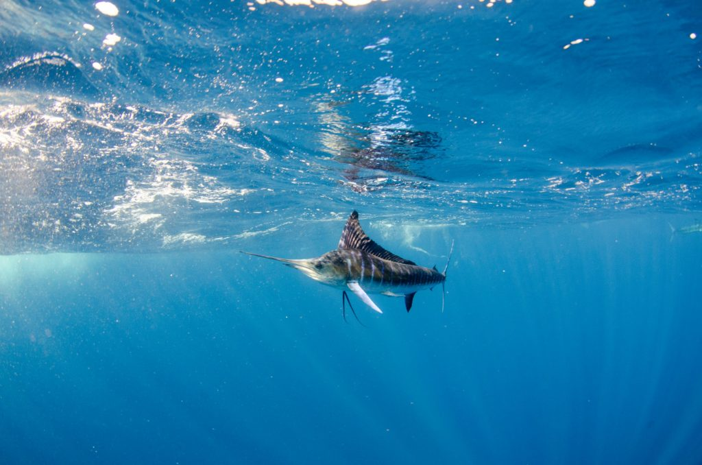 marlin-under-the-water