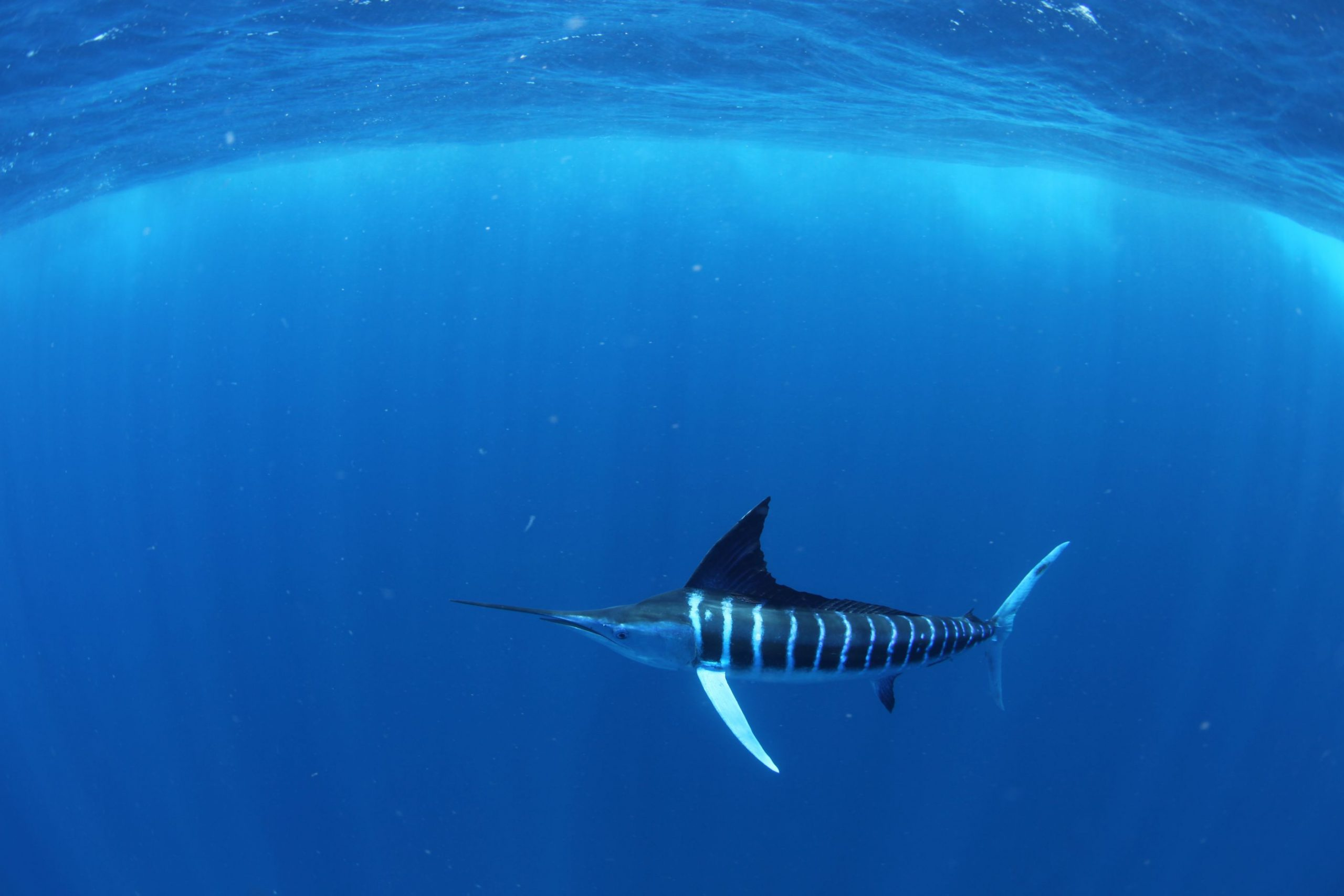 striped-marlin-under-the-water